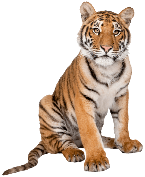 Stickers muraux: Tigre 3 0