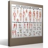 Stickers muraux: Le système musculaire 4