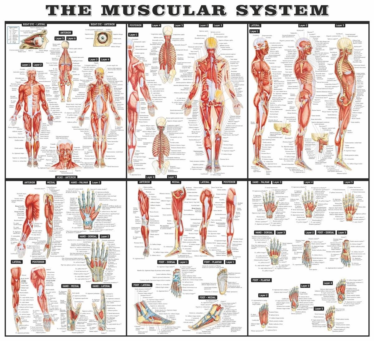 Stickers muraux: Le système musculaire