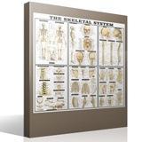 Stickers muraux: Le système squelettique 4