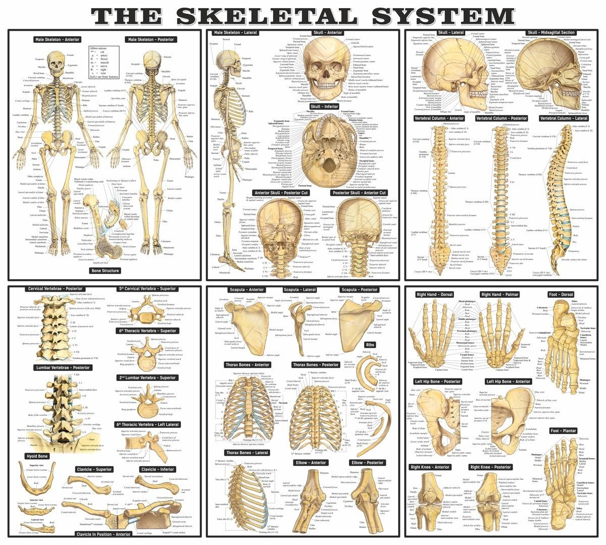 Stickers muraux: Le système squelettique
